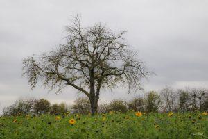 cerisier solitaire
