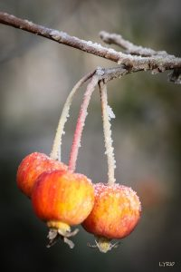 petites pommes